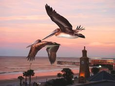 Pelicans over Daytona