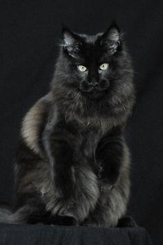 "Black  ""Moon Cat""  BeautifulMeow   ✿⊱╮"