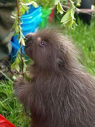 Wild! Porcupine....