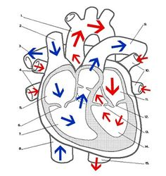 Answer key to the heart labeling worksheet, showing the identity of the major vessels and chambers of the heart. Middle School Health, Middle School Science, Human Body Anatomy, Human Anatomy And Physiology, Biology Lessons, Teaching Biology, Life Science, Science And Nature, Cell Cycle Activity