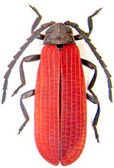 Xylobanellus erythropterus Baudi (Lycidae)