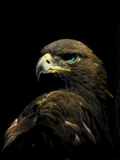 Golden Eagle - Eye color probably wrong All Birds, Birds Of Prey, Love Birds, Pretty Birds, Beautiful Birds, Animals Beautiful, Aigle Animal, The Eagles, Golden Eagle