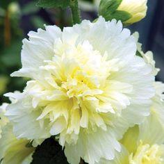 Spring Celebrities Lemon Hollyhock Alcea rosea annua