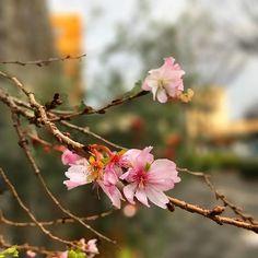 【macolove15】さんのInstagramをピンしています。 《ちょっと用事で御池まで その足で御池桜見てきました 今年も綺麗に咲いていました🌸 ここだけ春の香りが…  #桜 #御池桜#不断桜 #京都 #花のある暮らし #ザ花部  #flowerstagram#wp_flower#picture_to_keep#gflowers#instaflower#flowerslovers#igersjp#nature#beautiful#ponyfony_flowers#na_natures_art#kings_flora#myheartinshots#picturetokeep_flowers#mydailyflower#ptk_flowers #nippon #cherry-blossom》