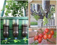 K pěstování vlastních rajčat v láhvi budete potřebovat následující věci: jedna 2 nebo 1,5 litrová plastová láhev 1 malá sazenička rajčat voda půda kávový filtr 8 cm dlouhá jehlice nebo dřevěné párátko drát nebo stužka na láhev šroubovák izolační páska nůžky nebo nůž postup Postupujte podle těchto kroků: 1) Dobře omyjte láhev. 2) Odstřihněte dno …