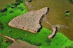 Pelicans in the Senegal River Delta near St. Louis, Djoudj National Park Sanctuary, Senegal (16°25' N, 16°16' W).