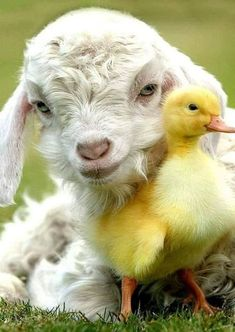 Untitled by Adm Adm on - Sheep - Cute Little Animals, Cute Funny Animals, Cute Ducklings, Cute Goats, Cute Sheep, Baby Goats, Tier Fotos, Cute Animal Pictures, Funny Pictures