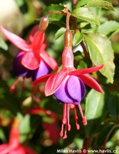 Fuchsia European Garden, Home Living Room, Perennials, Gardens, Christmas Ornaments, Holiday Decor, Plants, Living Room, Outdoor Gardens