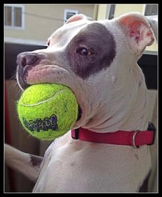 """Have a good grip on this one!"" #dogs #pets #Pitbulls"