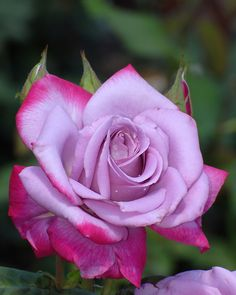 Hybrid Tea Rose 'Paradise' - I just bought this bush and can't wait for it to grow and start blooming!