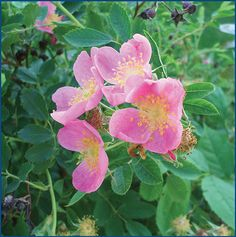 Wild Prairie Rose the official state flower of North Dakota
