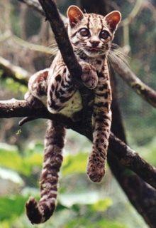 Margay cat.