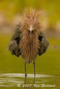 reddish egret    IS this real?.....wow ow woowoooooow