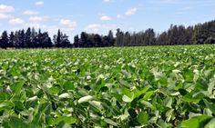 Pregon Agropecuario :: SOJA: HERRAMIENTAS PARA IDENTIFICAR CULTIVARES QUE RESISTEN LA FALTA DE AGUA - Oleaginosas - Soja
