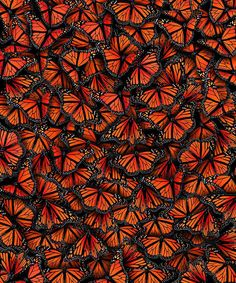 Hundreds of thousands of butterflies gather together covering a great number of trees and making a splendid pattern similar to a live dress. Wonderful little creature overcomes thousands of kilometres from Canada to Mexico every year to pass the winter.