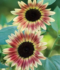 """Sunflower, Strawberry Blonde Hybrid. The first rose pink sunflower!                                                                                                     You've never seen a sunflower with colors like this!   It is absolutely stunning in vases and the garden. Its combination of subtle lemon and rose-pink flowers surrounding a dark disc, forming 5-6"""" blooms, will leave you breathless. These are so beautiful!!"""