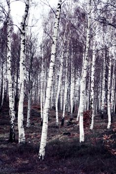 white birch trees/ I want this as a picture