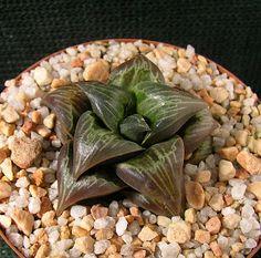 Haworthia badia , selected seedling.