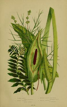 Cuckoo Pint (Arum maculatum). The flowering plants, grasses, sedges, & ferns of Great Britain and their allies, the club mosses, horsetails, etc. v.4  London,F. Warne,1905.  Biodiversitylibrary. Biodivlibrary. BHL. Biodiversity Heritage Library