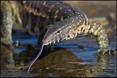 Image result for komodo dragon tongue side