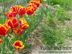 Tulips in a community garden