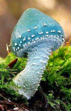 Woodland Mushroom, England. Stropharia aeruginosa, commonly known as the verdigris agaric, is a medium-sized woodland mushroom