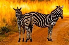 2 zebra's - foto gemaakt in Limpopo, Zuid-Afrika