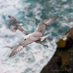 Gulls in Unst, the Shetland Islands