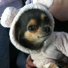 20 raisons de ne jamais adopter un Chihuahua Chihuahua Puppies, Dogs And Puppies, Cute Funny Animals, Cute Dogs, Animals And Pets, Baby Animals, Cute Animal Pictures, Animal Pics, Fur Babies