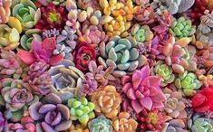 How to Give Your Succulents the Best Color with Sunlight and Temperature - Succulents Box Succulent Gardening, Planting Succulents, Succulent Plants, Flower Garden Plans, Puzzle Games For Kids, Colorful Succulents, Begonia, Garden Planning, Bunt