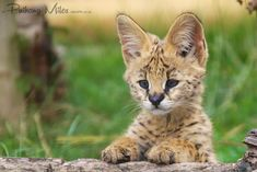 Samia, the Serval cat was brought into WHF specifically to breed with Malawi. The result was also a boy, Mwazi and a girl named Jua.