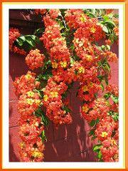 Spectacular blooms of Bauhinia kockiana