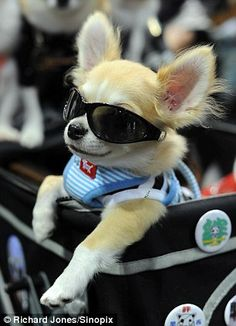Cool dogs: One pooch sports a bib and sunglasses during the Osaka fashion show