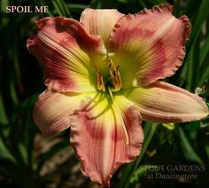 Daylily 'SPOIL ME' – Stout Gardens at Dancingtree