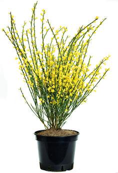 Genêt d'Espagne ou Spartium junceum - arbuste à la floraison jaune très…