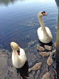 State Legislation Halting Lethal Mute Swan Control Measures Passes In Senate, Assembly | #wildlife #laws #muteswans #waterbirds #birds #animals #legislation #newyorkstate #environmental