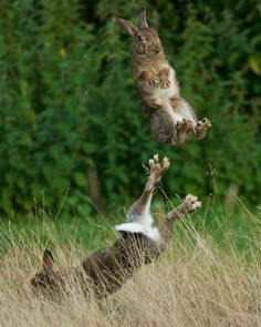 Easter bunnies getting into practice! #easter #easterbunnies #bunny #bunnylove #bunnygram #bunniesofinstagram #rabbit #rabbits #rabbitsofinstagram #loverabbit #nature #naturelovers #nature_perfection #ilovenature #jumping #bounce #jumping #fluffyanimals #funnyrabbit #funnyanimals #funnystuff by stonemaria1965