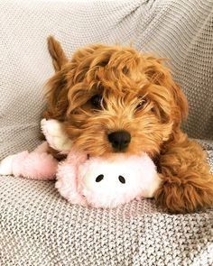 Meet the Cute and Cuddly Cavapoo Puppies! - Lovely Animals World Cavapoo Puppies, Cute Puppies, Dogs And Puppies, Poodle Puppies, Cavoodle Dog, Labradoodles, Cockapoo, Goldendoodle, King Charles Spaniel