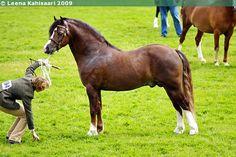Welsh Pony of Cob Type (section C) - stallion Tyngwndwn Lion King