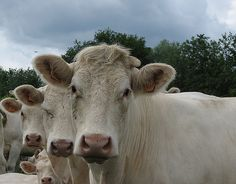 Cows...in France by by_irma, via Flickr