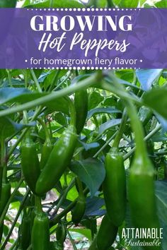 Hot peppers come in a large range of shapes colors and spiciness Heres how to grow hot peppers successfully in your garden From seed starting to controlling pests and har. Organic Gardening, Gardening Tips, Container Gardening, Urban Gardening, Indoor Gardening, Growing Peppers, Growing Jalapenos, Growing Veggies, Coconut Oil Weight Loss
