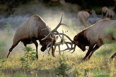 Elk (cervus canadensis) fight