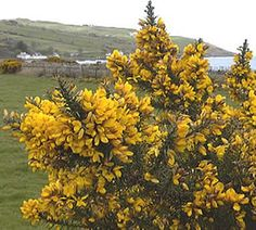 26 best ogham trees and plants images on pinterest forests plants gorse bush flowers jan to may mightylinksfo