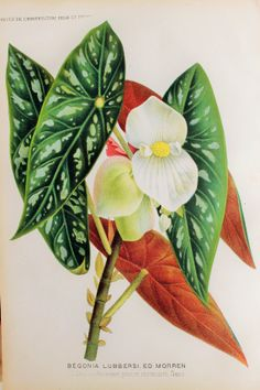 Spectacular 1880s Botanical Chromolithograph by PaperPopinjay, $20.00