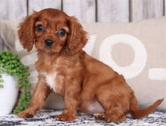 Andy Pups Paradise King Charles Spaniel, Cavalier King Charles, Crochet Dog Sweater, Paradise, Puppies, Dogs, Animals, Cubs, Animales