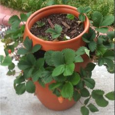 Strawberry plant container