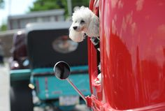 Catching a breeze during a street rod parade. #poodle #cute #dog #puppy #cars