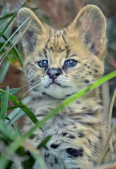 52 Best savannah cats images in 2014 | Pretty cats, Big ...