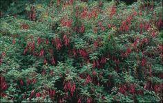 chilco rojo - Google Search Sombra parcial - riego medio