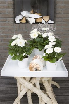 Sundayz® white presentation outdoor gerbera